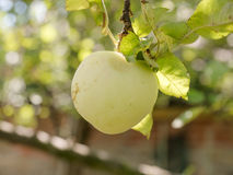 Κινηματογράφηση σε πρώτο πλάνο του πράσινου μήλου στον κλάδο Στοκ Φωτογραφίες