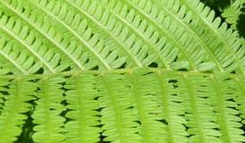 Κινηματογράφηση σε πρώτο πλάνο του πράσινου φύλλου ενός φυτού φτερών Στοκ Εικόνα