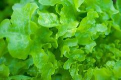 Κινηματογράφηση σε πρώτο πλάνο του πράσινου φύλλου στον κήπο/τη μακροεντολή του πράσινου φύλλου στο δάσος Στοκ Φωτογραφία