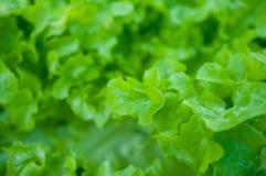 Κινηματογράφηση σε πρώτο πλάνο του πράσινου φύλλου στον κήπο/τη μακροεντολή του πράσινου φύλλου στο δάσος Στοκ εικόνα με δικαίωμα ελεύθερης χρήσης