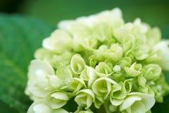 Κινηματογράφηση σε πρώτο πλάνο του πράσινου macrophylla Hydrangea hydrangea Στοκ Φωτογραφίες