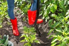 Κινηματογράφηση σε πρώτο πλάνο του προσώπου στις κόκκινες λαστιχένιες μπότες που σκάβουν το χώμα στον κήπο Στοκ Φωτογραφίες