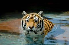 Κινηματογράφηση σε πρώτο πλάνο του προσώπου, του κεφαλιού και των ώμων της όμορφης τίγρης στοκ εικόνα με δικαίωμα ελεύθερης χρήσης