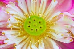 Κινηματογράφηση σε πρώτο πλάνο του πλήρως ανθισμένου λουλουδιού λωτού Στοκ Φωτογραφίες