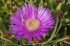 Κινηματογράφηση σε πρώτο πλάνο του ρόδινου λουλουδιού στο φυσικό βιότοπο μια ηλιόλουστη ημέρα Στοκ Εικόνα