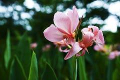 Κινηματογράφηση σε πρώτο πλάνο του ρόδινου λουλουδιού hedychium Στοκ Φωτογραφία