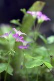 Κινηματογράφηση σε πρώτο πλάνο του ρόδινου λουλουδιού woodsorrel Στοκ φωτογραφία με δικαίωμα ελεύθερης χρήσης