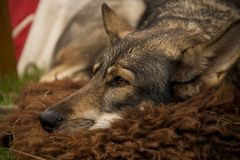 Κινηματογράφηση σε πρώτο πλάνο του σκυλιού λύκων που βρίσκεται στην κουβέρτα Στοκ Φωτογραφία