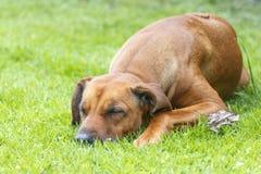Κινηματογράφηση σε πρώτο πλάνο του σκυλιού ύπνου στην πράσινη χλόη Στοκ εικόνα με δικαίωμα ελεύθερης χρήσης
