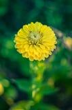 Κινηματογράφηση σε πρώτο πλάνο του στρογγυλού κίτρινου λουλουδιού της Zinnia σε έναν κήπο με τα πράσινα φύλλα Στοκ Εικόνα