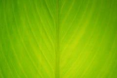 Κινηματογράφηση σε πρώτο πλάνο του φρέσκου πράσινου φύλλου ως υπόβαθρο Στοκ φωτογραφία με δικαίωμα ελεύθερης χρήσης