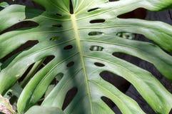 Κινηματογράφηση σε πρώτο πλάνο του φύλλου του φυτού Monstera Στοκ Εικόνες