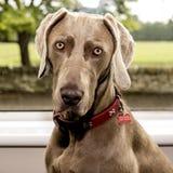 Κινηματογράφηση σε πρώτο πλάνο του χαριτωμένου weimaranar σκυλιού με το κόκκινο περιλαίμιο στοκ φωτογραφία με δικαίωμα ελεύθερης χρήσης