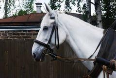 Κινηματογράφηση σε πρώτο πλάνο του χρησιμοποιημένου άσπρου αλόγου υπαίθριου Στοκ Φωτογραφίες