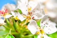 Κινηματογράφηση σε πρώτο πλάνο του όμορφου άσπρου ελατηρίου, λουλούδια μήλων Στοκ φωτογραφία με δικαίωμα ελεύθερης χρήσης