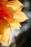 Κινηματογράφηση σε πρώτο πλάνο του όμορφου και φρέσκου κίτρινου λουλουδιού στην τροπική ζώνη Στοκ εικόνα με δικαίωμα ελεύθερης χρήσης