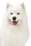 Κινηματογράφηση σε πρώτο πλάνο του όμορφου σκυλιού Samoyed Στοκ Εικόνα