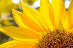 Κινηματογράφηση σε πρώτο πλάνο του όμορφου φωτεινού ηλίανθου Ανασκόπηση θερινών λουλουδιών Στοκ φωτογραφία με δικαίωμα ελεύθερης χρήσης