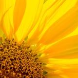 Κινηματογράφηση σε πρώτο πλάνο του όμορφου φωτεινού ηλίανθου Ανασκόπηση θερινών λουλουδιών Στοκ Φωτογραφίες