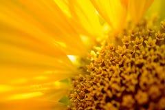Κινηματογράφηση σε πρώτο πλάνο του όμορφου φωτεινού ηλίανθου Ανασκόπηση θερινών λουλουδιών Στοκ Εικόνα
