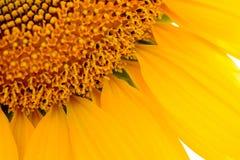 Κινηματογράφηση σε πρώτο πλάνο του όμορφου φωτεινού ηλίανθου Ανασκόπηση θερινών λουλουδιών Στοκ Φωτογραφία