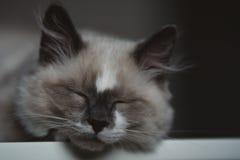 Κινηματογράφηση σε πρώτο πλάνο του ύπνου γατών ragdoll Στοκ Φωτογραφίες