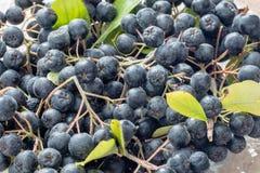 Κινηματογράφηση σε πρώτο πλάνο του ώριμου μαύρου chokeberry melanocarpa Aronia με τα φύλλα στο δοχείο γυαλιού Στοκ Εικόνες