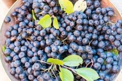 Κινηματογράφηση σε πρώτο πλάνο του ώριμου μαύρου chokeberry melanocarpa Aronia με τα φύλλα στο δοχείο Στοκ φωτογραφία με δικαίωμα ελεύθερης χρήσης