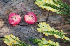 Κινηματογράφηση σε πρώτο πλάνο του antirrhinum και των μισών του μήλου παραδείσου Στοκ εικόνες με δικαίωμα ελεύθερης χρήσης