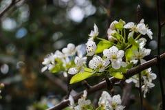 Κινηματογράφηση σε πρώτο πλάνο του Apple-δέντρου bloomig Στοκ Εικόνα