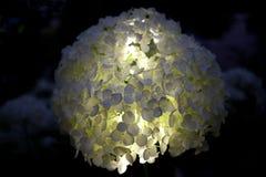Κινηματογράφηση σε πρώτο πλάνο του hydrangea annabelle στο μαύρο υπόβαθρο Στοκ εικόνες με δικαίωμα ελεύθερης χρήσης