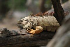 Κινηματογράφηση σε πρώτο πλάνο του iguana Στοκ Εικόνες