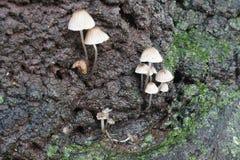 Κινηματογράφηση σε πρώτο πλάνο του mushroom& x28 Galericulata Mycena ή κοινό bonnet& x29  Στοκ Εικόνα