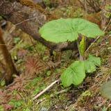 Κινηματογράφηση σε πρώτο πλάνο του nelumbifolia Ligularia Στοκ Φωτογραφία