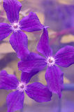 Κινηματογράφηση σε πρώτο πλάνο τριών λουλουδιών Clematis Εκλεκτική εστίαση στοκ εικόνα