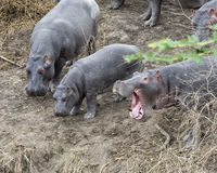 Κινηματογράφηση σε πρώτο πλάνο τριών hippos που στέκεται στην άκρη του ποταμού, ένας με στοματικό ευρύ ανοικτό Στοκ φωτογραφία με δικαίωμα ελεύθερης χρήσης
