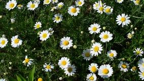 Κινηματογράφηση σε πρώτο πλάνο των άσπρων, κίτρινων και πράσινων λουλουδιών μαργαριτών στο λιβάδι απόθεμα βίντεο
