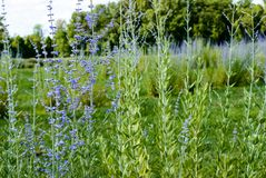 Κινηματογράφηση σε πρώτο πλάνο των ανθίζοντας lavender λουλουδιών στον τομέα Στοκ Φωτογραφία