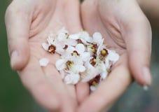 Κινηματογράφηση σε πρώτο πλάνο των αρσενικών χεριών που κρατούν Plumeria τροπικό Στοκ Φωτογραφία