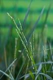 Κινηματογράφηση σε πρώτο πλάνο των εγκαταστάσεων ρυζιού Στοκ Εικόνα