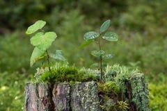Κινηματογράφηση σε πρώτο πλάνο των δενδρυλλίων, του βρύου και της λειχήνας πάνω από ένα κολόβωμα ενός δέντρου Στοκ φωτογραφία με δικαίωμα ελεύθερης χρήσης