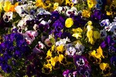 Κινηματογράφηση σε πρώτο πλάνο των ζωηρόχρωμων θερινών λουλουδιών στο έδαφος Στοκ Φωτογραφία