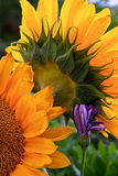 Κινηματογράφηση σε πρώτο πλάνο των ηλίανθων και του μικρού πορφυρού λουλουδιού Στοκ φωτογραφία με δικαίωμα ελεύθερης χρήσης