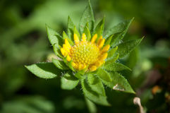 Κινηματογράφηση σε πρώτο πλάνο των κίτρινων λουλουδιών στον κήπο/τη μακροεντολή του κίτρινου λουλουδιού στο δάσος Στοκ Εικόνα
