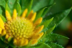 Κινηματογράφηση σε πρώτο πλάνο των κίτρινων λουλουδιών στον κήπο/τη μακροεντολή του κίτρινου λουλουδιού στο δάσος Στοκ φωτογραφίες με δικαίωμα ελεύθερης χρήσης