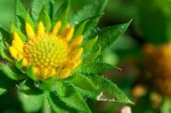 Κινηματογράφηση σε πρώτο πλάνο των κίτρινων λουλουδιών στον κήπο/τη μακροεντολή του κίτρινου λουλουδιού στο δάσος Στοκ φωτογραφία με δικαίωμα ελεύθερης χρήσης