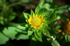 Κινηματογράφηση σε πρώτο πλάνο των κίτρινων λουλουδιών στον κήπο/τη μακροεντολή του κίτρινου λουλουδιού στο δάσος Στοκ Φωτογραφία