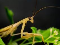 Κινηματογράφηση σε πρώτο πλάνο των καφετιών mantis σε φυσικό Στοκ Εικόνα