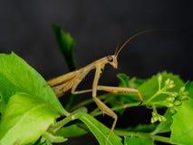 Κινηματογράφηση σε πρώτο πλάνο των καφετιών mantis σε φυσικό Στοκ Φωτογραφία