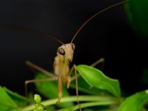 Κινηματογράφηση σε πρώτο πλάνο των καφετιών mantis σε φυσικό Στοκ φωτογραφία με δικαίωμα ελεύθερης χρήσης
